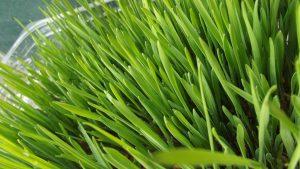 Herbe de blé, vertu herbe de blé