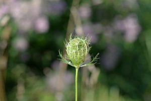 Le carvi, une aromatique peu connue