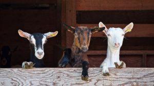 Brochette de chèvres