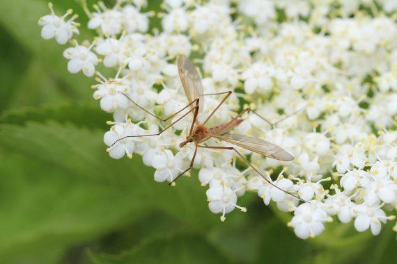 L'anti moustique naturel