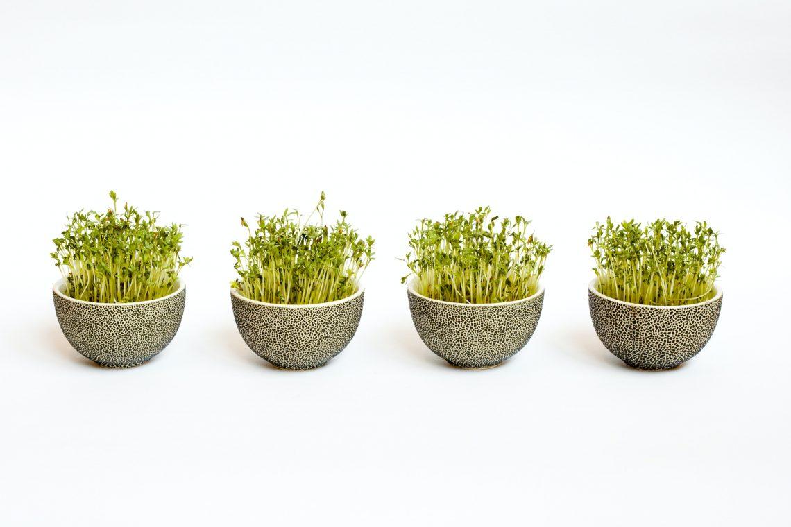 graines germées aromatiques en pot